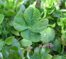 Four-leaf_clover